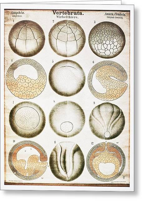 Embryo Photographs Greeting Cards - Vertebrate Embryonic Development, Artwork Greeting Card by Mehau Kulyk