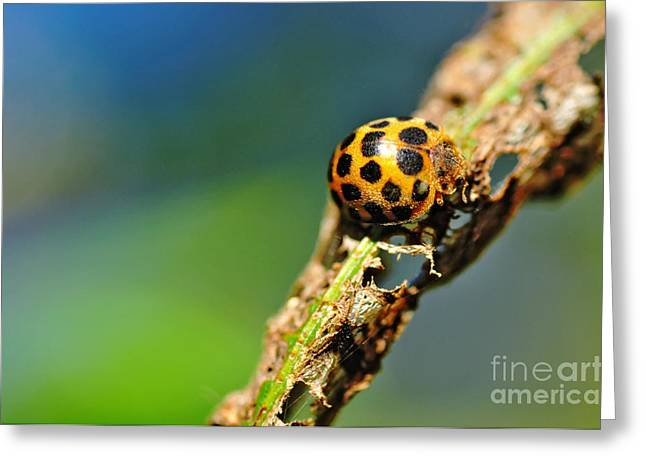 Gold Bug Greeting Cards - Very Hungry Ladybird 2 Greeting Card by Kaye Menner
