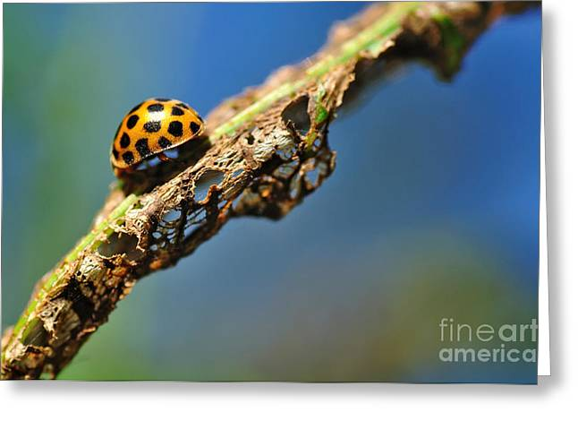 Holier Greeting Cards - Very Hungry Ladybird Greeting Card by Kaye Menner