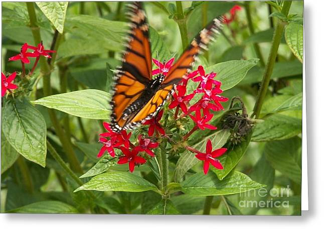 Butterfly In Motion Greeting Cards - Viceroy Butterfly on Pentas Greeting Card by Theresa Willingham