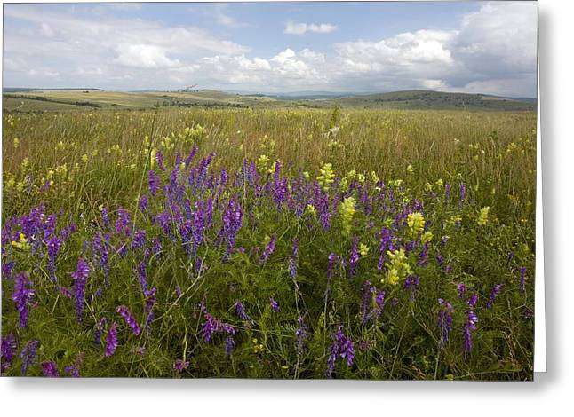 Vetch Greeting Cards - Vicia Tenuifolia And Rhinanthus Rumelicus Greeting Card by Bob Gibbons