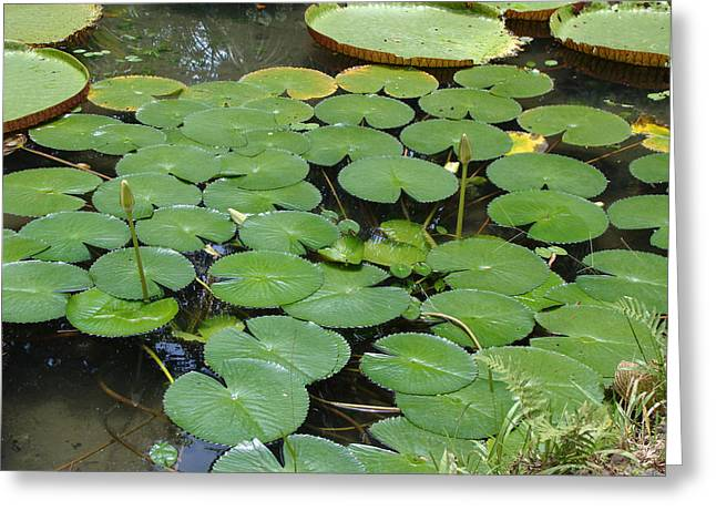 Emilio Greeting Cards - Victoria amazonica 04 Greeting Card by Nelson Caramico