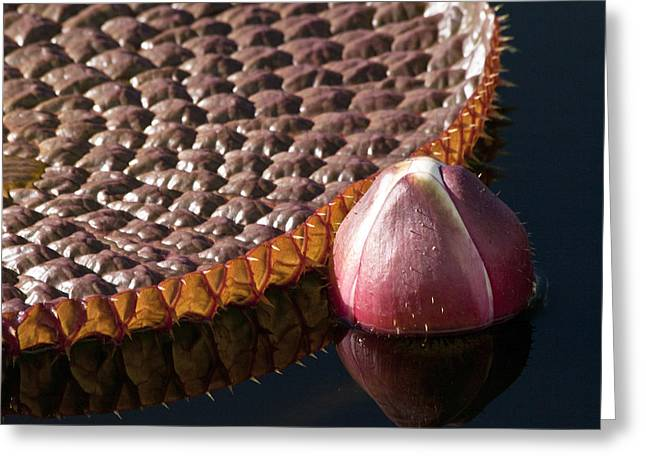 Victoria Amazonica Giant Water Lily Greeting Card by Heiko Koehrer-Wagner