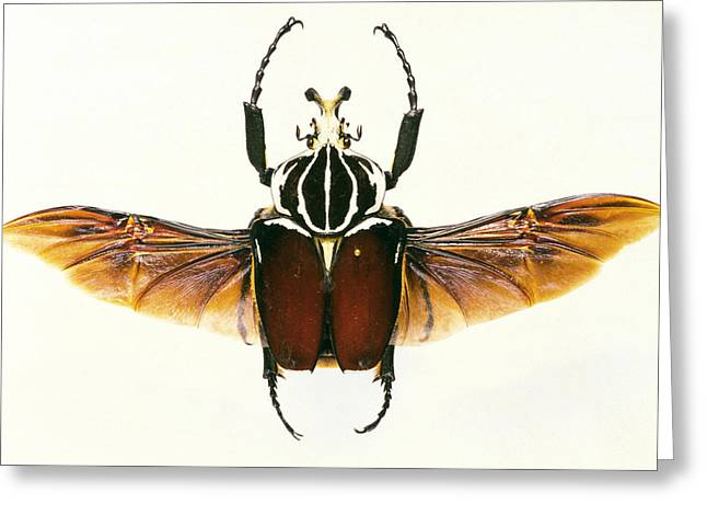 Goliath Greeting Cards - View Of A Goliath Beetle, Goliathus Sp. Greeting Card by Sinclair Stammers