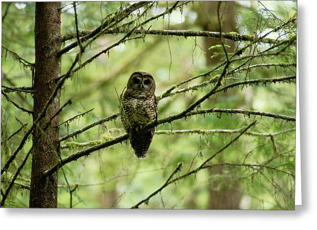 North Fork Greeting Cards - View Of A Northern Spotted Owl Greeting Card by James P. Blair
