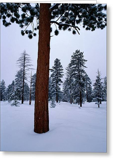 Ponderosa Greeting Cards - View Of A Ponderosa Pine Surrounded Greeting Card by Raymond Gehman