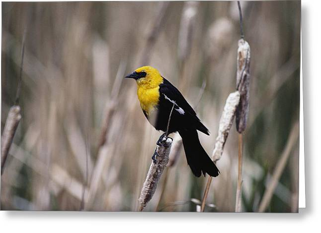 Chromatic Greeting Cards - View Of A Yellow-headed Blackbird Greeting Card by Bates Littlehales