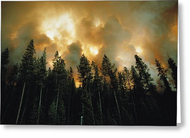 West Yellowstone Greeting Cards - View Of Lodgepole Pines,pinus Murrayan Greeting Card by Jonathan Blair