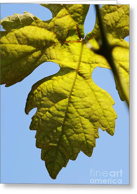 Vine Leaves Greeting Cards - Vine leaf against blue sky Greeting Card by Sami Sarkis