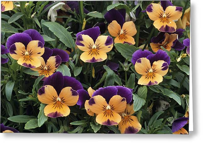 Sorbet Photographs Greeting Cards - Violets Greeting Card by Archie Young