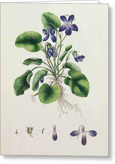 Pages Of Life Paintings Greeting Cards - Violets Greeting Card by English School