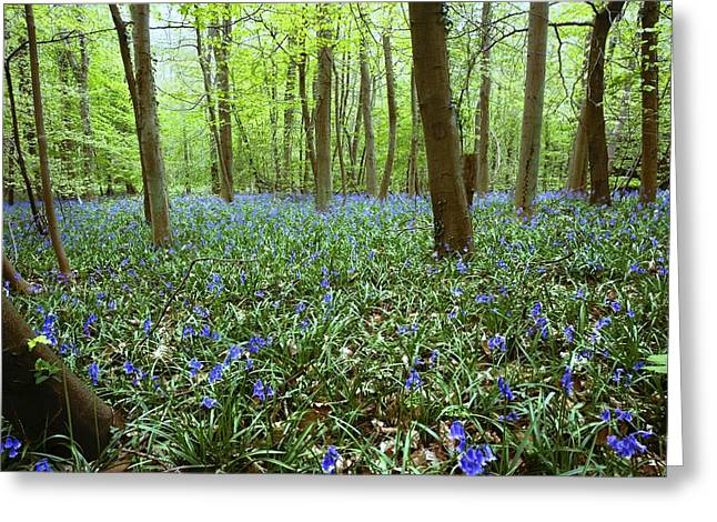 Forest Floor Greeting Cards - Violets In Forest Greeting Card by John Short