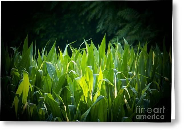 Cornfield Greeting Cards - Virginia Corn Greeting Card by Joyce Kimble Smith