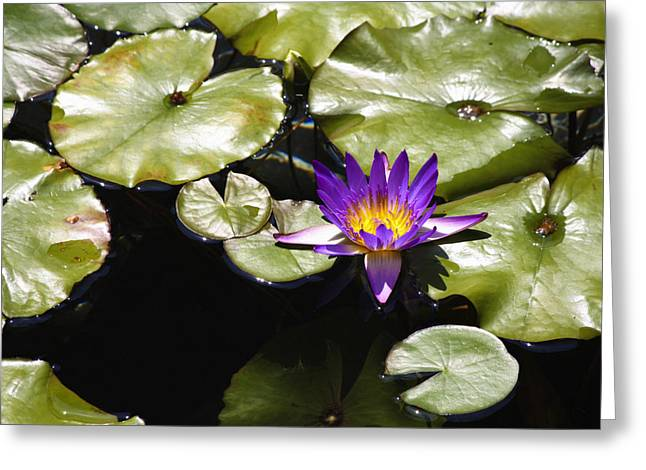 Lilly Pads Greeting Cards - Vivid Purple Water Lilly Greeting Card by Teresa Mucha