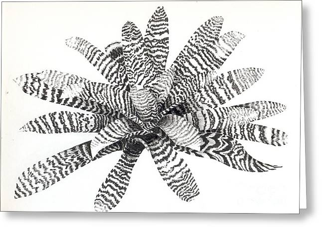Bromeliad Drawings Greeting Cards - Vriesea hieroglyphica Greeting Card by Penrith Goff