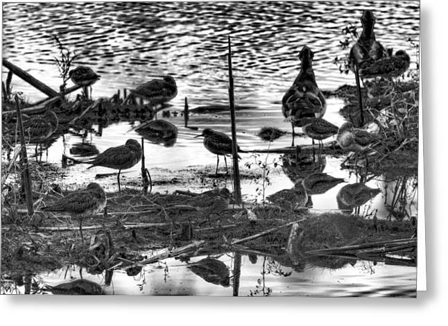 Wader Greeting Cards - Waders At Sackville Nb Greeting Card by Lawrence Christopher