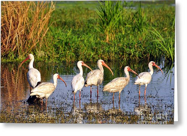 Wading Ibises Greeting Card by Al Powell Photography USA