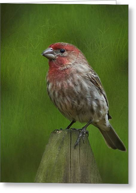 House Finch Greeting Cards - Waiting By The Meadow Greeting Card by Steven Richardson