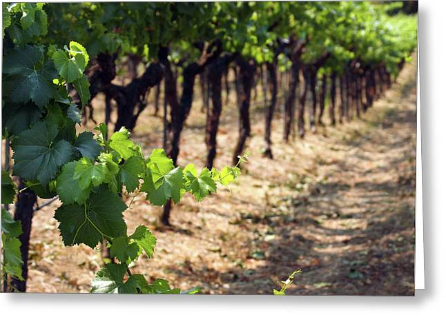 Grape Vineyards Greeting Cards - Waiting For Oak Greeting Card by Rebecca Cozart