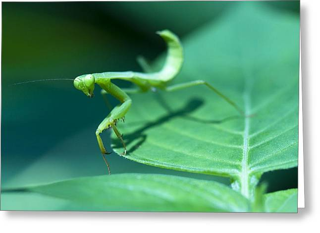 Mantodea Greeting Cards - Walking Mantis Greeting Card by Zoe Ferrie