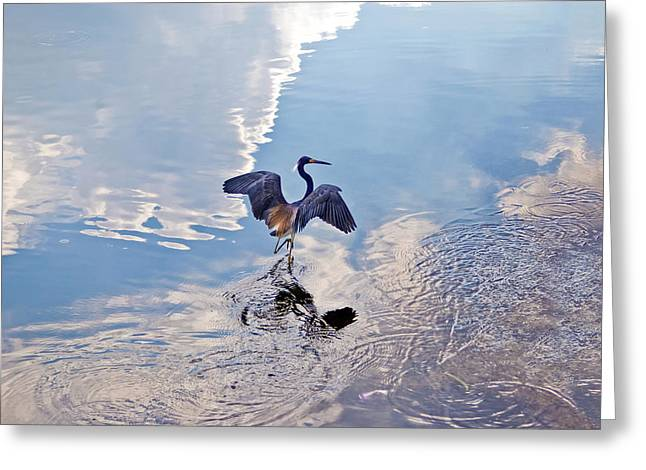 Tri-colored Heron Greeting Cards - Walking On Water Greeting Card by Carolyn Marshall