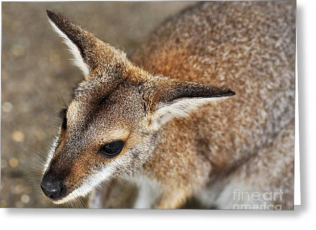Black Nose Greeting Cards - Wallaby Portrait Greeting Card by Kaye Menner