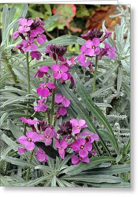 Wallflower Greeting Cards - Wallflowers (erysimum bowles Mauve) Greeting Card by Archie Young