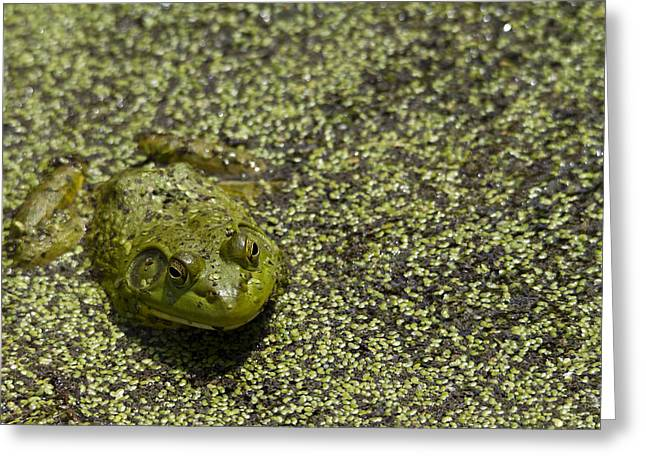 Frog Photographs Greeting Cards - Wallowing In It Greeting Card by Rebecca Cozart