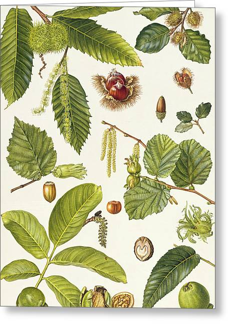 Filbert Greeting Cards - Walnut and other nut-bearing trees Greeting Card by Elizabeth Rice