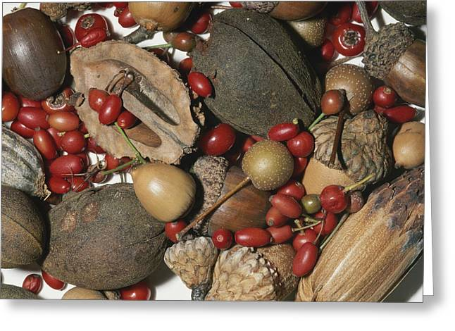 Acorn Greeting Cards - Walnuts, Acorns, Berries, Persimmons Greeting Card by Brian Gordon Green