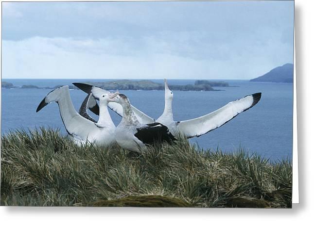 Wandering Greeting Cards - Wandering Albatrosses Greeting Card by Doug Allan