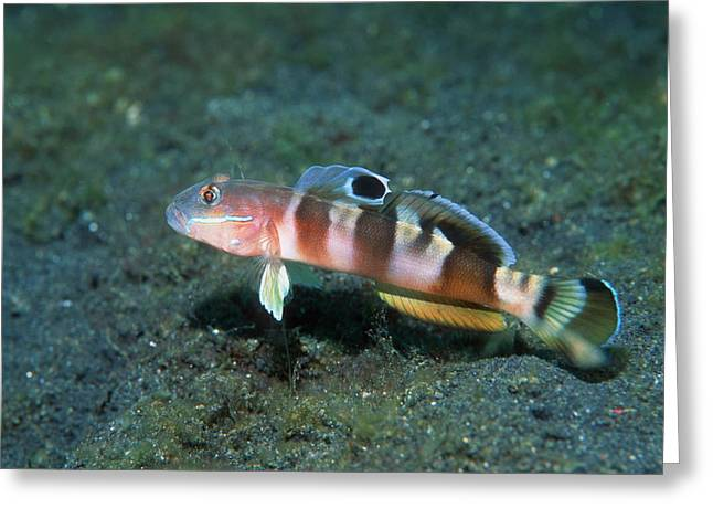 Goby Greeting Cards - Wards Sleeper Goby Greeting Card by Georgette Douwma