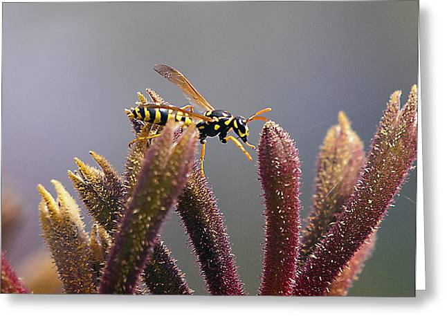 Waspage In The Kangaroo Paw Greeting Card by Joe Schofield