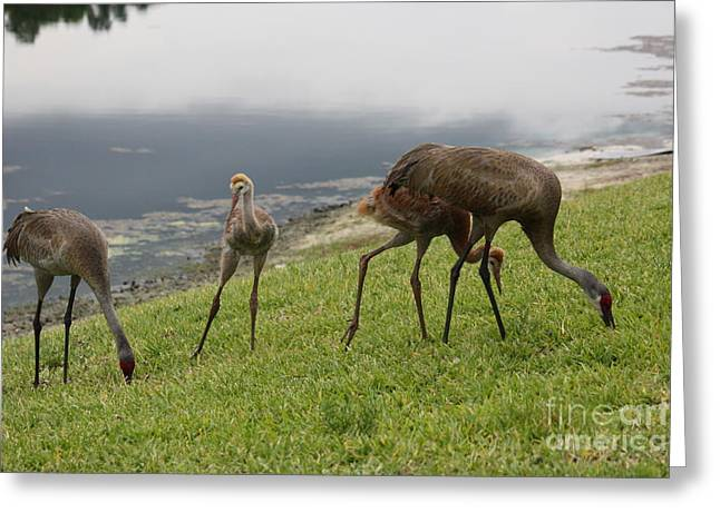Sandhill Cranes Greeting Cards - Watch and Learn Greeting Card by Carol Groenen