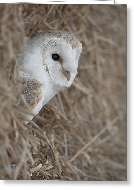 Out-building Greeting Cards - Watchfull Barn Owl Greeting Card by Andy Astbury