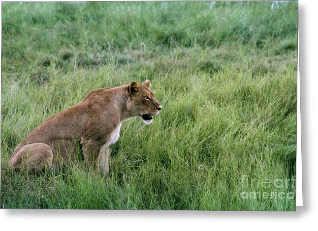Lioness Greeting Cards - Watching In Silence Greeting Card by Sandra Bronstein