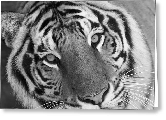 Tampa Greeting Cards - Watching  You - Black and White Greeting Card by Nicholas Evans