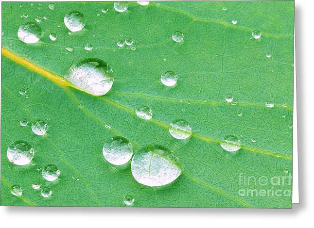 Wellbeing Greeting Cards - Water droplets on Eucalyptus Greeting Card by Richard Thomas