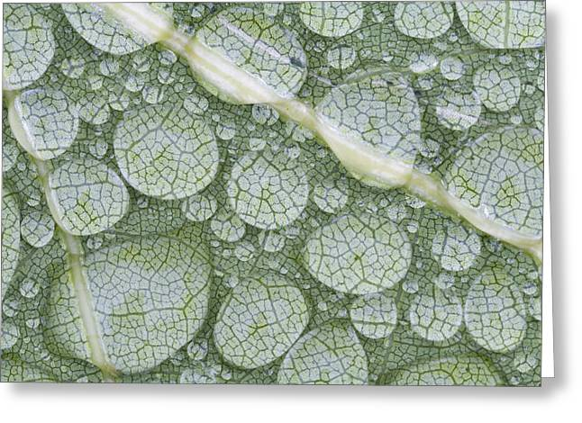 Annapolis Valley Greeting Cards - Water Droplets On Leaf, Annapolis Greeting Card by Scott Leslie