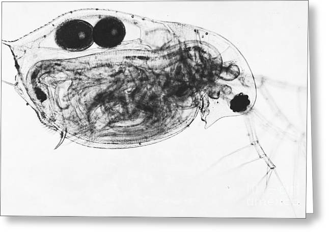 Zooplankton Greeting Cards - Water Flea Greeting Card by Eric V. Grave