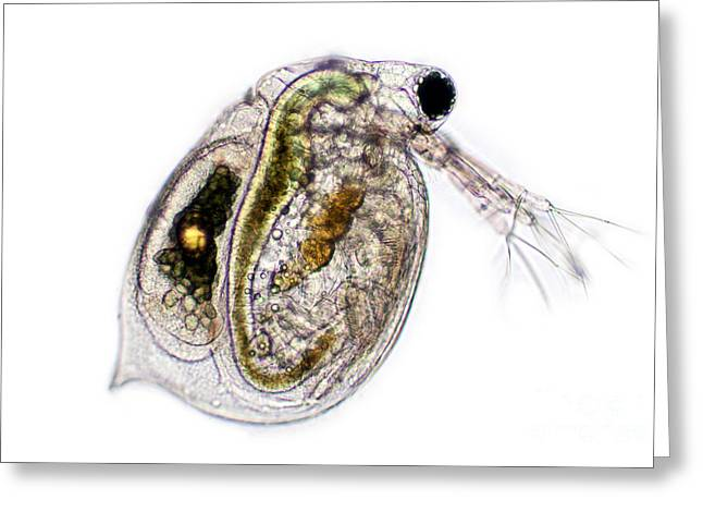 Asexual Greeting Cards - Water Flea, Lm Greeting Card by Ted Kinsman