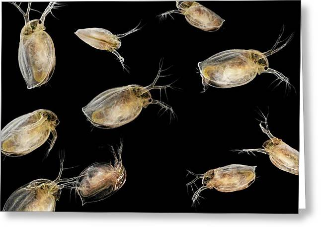 Asexual Greeting Cards - Water Fleas Greeting Card by Laguna Design