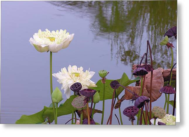 Jim Justinick Greeting Cards - Water Flowers Greeting Card by Jim Justinick