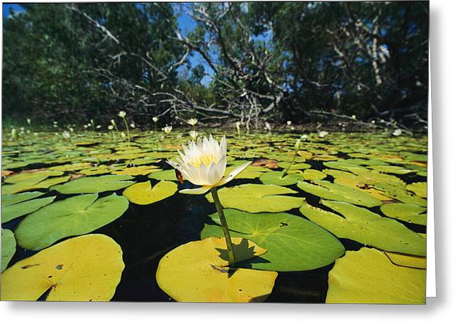 Cape Lily Greeting Cards - Water Lilies, Jardine River, Cape York Greeting Card by Joe Stancampiano