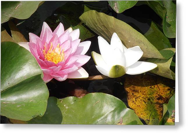Green Day Greeting Cards - Water Lilies  Greeting Card by Tim Donovan