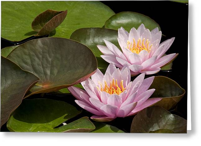 Angelini Greeting Cards - Water Lilies visit www.AngeliniPhoto.com for more Greeting Card by Mary Angelini