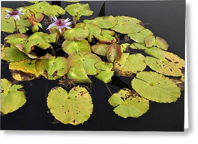 Water Lillies And Pads Greeting Card by Forest Alan Lee