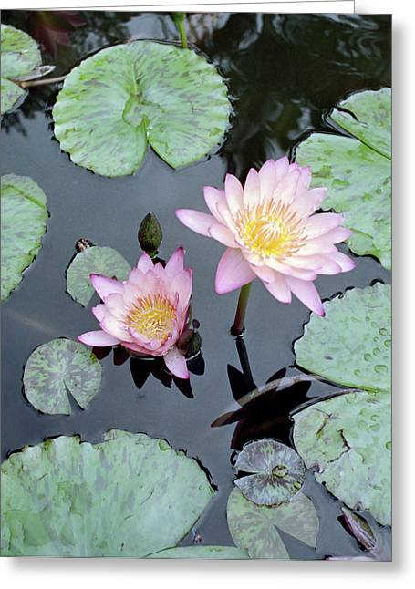 Kevin Smith Greeting Cards - Water Lillies Greeting Card by Kevin Smith