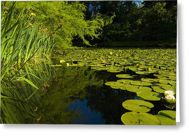 Water Lilly Greeting Cards - Water Lillies Greeting Card by Peter Olsen