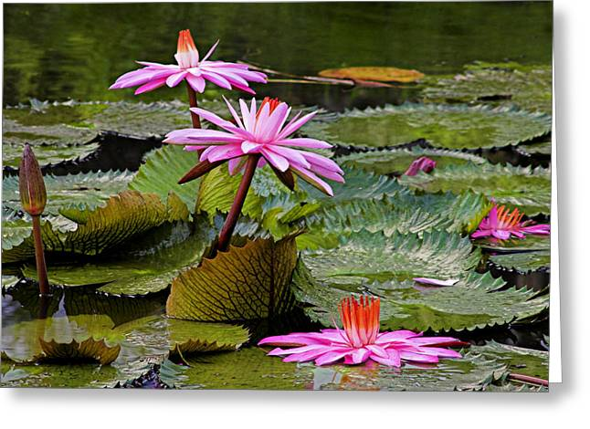 Water Lilly Greeting Cards - Water Lillies-St Lucia Greeting Card by Chester Williams